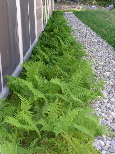 Ferns at my Door